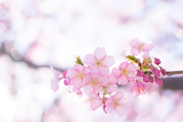 ピンク色のキレイな桜
